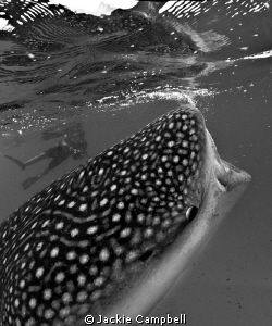 Whaleshark feeding in Maldives. by Jackie Campbell