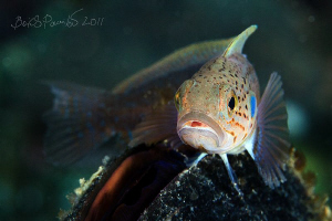 Blackspot ronquil female on mussel