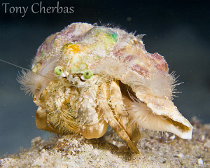 Hermit The Crab by Tony Cherbas