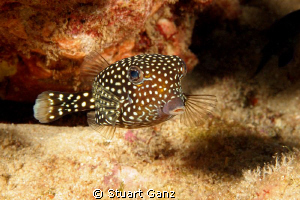White spotted box fish. by Stuart Ganz