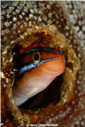 "Blenny of Raja Ampat .... ""Hellowww"" ... :) by Agung Djaja Rachwan"