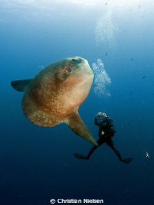 Mola mola and happy diver in Crystal Bay. Olympus E330, 8... by Christian Nielsen
