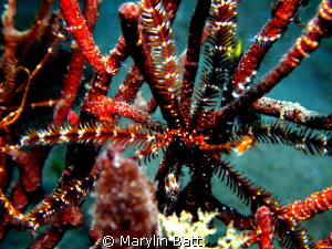 Texture with Brittle  star wrapped around coral by Marylin Batt