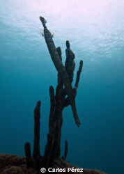 Trumpetfish (Aulostomus chinensis) @ Crash Boat Beach oly... by Carlos Pérez