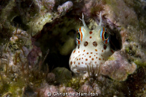 Blenny by Christine Hamilton