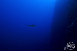 A lonely Grey Reef Shark taken off Munda, Solomon Islands... by Shea Pletz