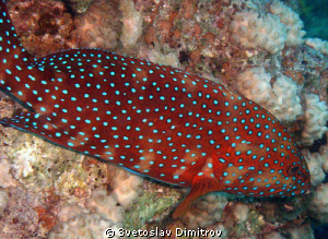 Red Grouper - Red sea by Svetoslav Dimitrov