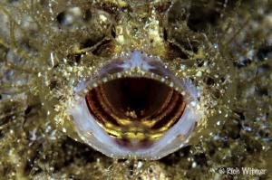 Ambon Scorpion fish.  D300/105mm by Richard Witmer
