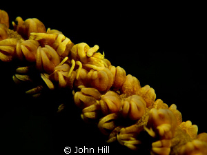 Whip Coral Shrimp.  Canon S-95 + UCL 165 + Z240. by John Hill