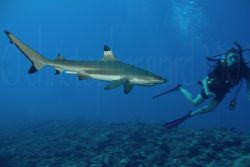 Moorea, French Polynesia. Blacktip sharks surrounded us j... by Christopher Ward