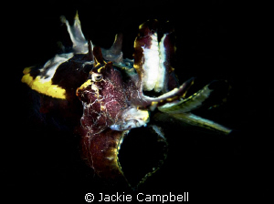 Flamboyant Cuttlefish in Lembeh. Canon S90 with dual Ino... by Jackie Campbell