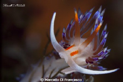 Cratena Peregrina by Marcello Di Francesco