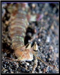 Mantis Shrimp - Portrait shot. Taken with 5060z, fl20. by Han Peng Lim