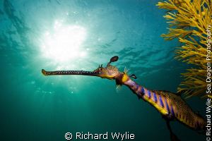 Weedy Seadragon (Phyllopterix taeniolatus) coming out fro... by Richard Wylie