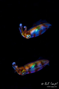 A pair of Squid swim during a night muck dive in the Phil... by Bill Lamp'l