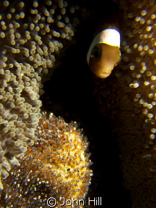 i was taking some pics of these anenomefish eggs when a j... by John Hill
