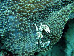 Porcelain Crab Bunaken National Park Indonesia  by Harrie De Jonge