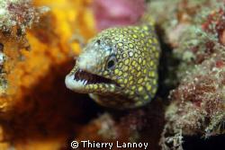 Jewel Moray Eel (Muraena Lentiginosa) by Thierry Lannoy