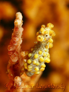 Pigmy seahorse (who didn't turn his back on me). by Vladimir Levantovsky