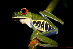 Red Eye Frog Costa Rica by Doris Vierkoetter