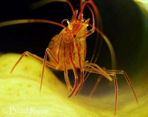 Sponge Peppermint Shrimp (Lysmata pederseni) shot with fo... by Brad Ryon