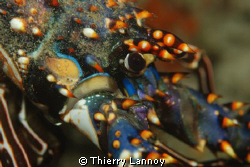 Panilirus Inflatus - Spiny Lobster in Cabo Pulmo Marine P... by Thierry Lannoy