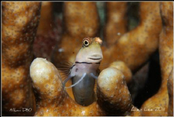 Curious Blenny.Nikon D80,60mm,f29,1/100,YS-120. by Allen Lee