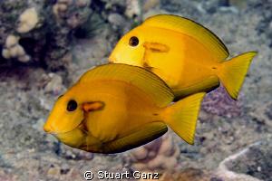 Juvenile Orangeband Surgeonfish by Stuart Ganz