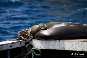 Sea Lion pup resting with Mom and Dad in the Galapagos Is... by Bill Lamp'l