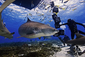 The excitement begins and the shark action bins at Tiger ... by Steven Anderson