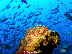 A local on Coopers Light Wreck - Durban by Bryan Hart