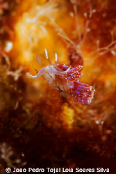 A small Facelina auriculata feeding on a hydroid in the N... by Joao Pedro Tojal Loia Soares Silva