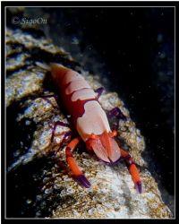 Emperor Shrimp on Sea cucumber. hairball, Lembeh. Taken w... by Han Peng Lim