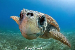 Nose touched to port :) Caretta caretta From Kaş / Turkiy... by Alp Baranok