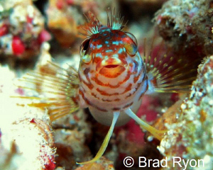 Saddle Blenny (Malacoctenus triangulatus) natural lighting