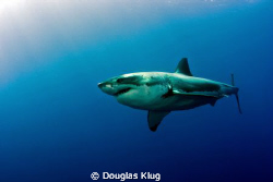 Surface Sunlight Cruiser. A Great White Shark washed in s... by Douglas Klug