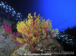 Gorgonian bicolors with fish. Taken with Nikon Coolpix P7... by Francesco Pacienza