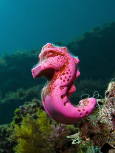 A very special seahorse ( HIPPOCAMPUS PLASTICUS) :)