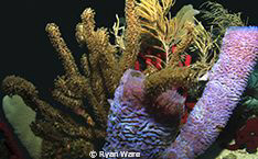 Colorful Coral, Used Canon T2i, Ikelite housing  Roatan... by Ryan Ware