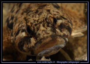 Face to face with this beautiful Bullhead, Fernsteinsee A... by Michel Lonfat