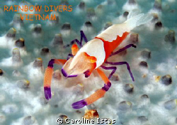 Shrimp on Star by Caroline Istas