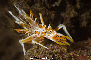 Uh stop! What is that? ...A tiger shrimp. Less than 1 inc... by Ximena Olds