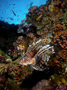 Lionfish on the Reef (2) - Canon S90. Taken in Komodo. by Stephen Holinski
