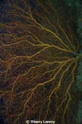 Magnificent Gorgonian on the walls of the Canyon of Los F... by Thierry Lannoy