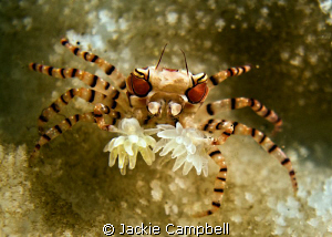 Tiny boxer crab...about 1-2cm . They are constantly movin... by Jackie Campbell