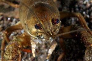 Crayfish-portrait by Veronika Matějková