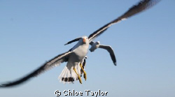 Pacific Gull, Abrolhos Islands. by Chloe Taylor