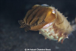Cuttle Fish by M Faizal Chandra Bayu