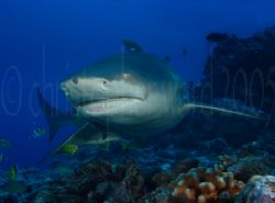 Bora Bora, French Polynesia. Lemon Shark. 18mm, dual flas... by Christopher Ward