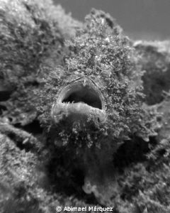 Little frogfish by Abimael Márquez